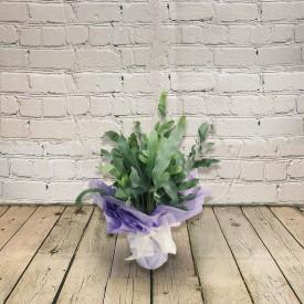 Phlebodium Blue Star Plant