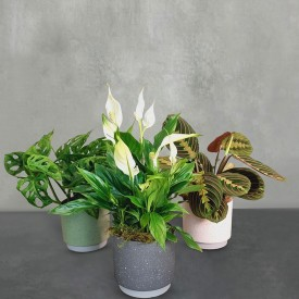 Indoor Houseplant Selection...