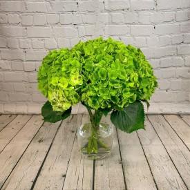 Green Godess Hydrangea